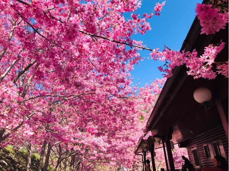 桃园樱花.jpg